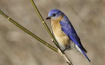 Eastern Bluebird is 16 to 21cm long and 25 to 32 cm across wings and its weight is around 27 to 35gm.