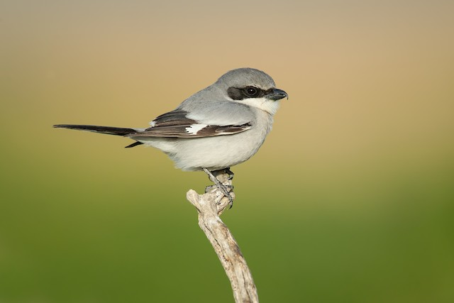 The Loggerhead Shrike is a conspicuous and fairly common nesting species in the sagebrush habitat of the Snake River Plain.