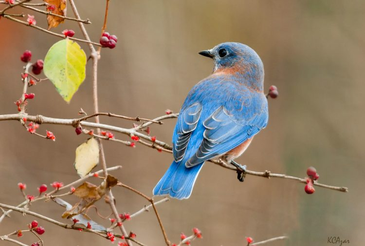 The state bird of Missouri and New York is eastern Bluebird (Sialia sialis).