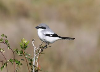 Loggerhead Shrikes (Lanius spp.) are known to prey on small vertebrates, most authors consider birds to be a minor portion of their diet.