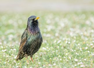 Starling birds are familiar to birdwatchers, today its superb iridescent plumage would rank it as one of the most beautiful of British Birds.