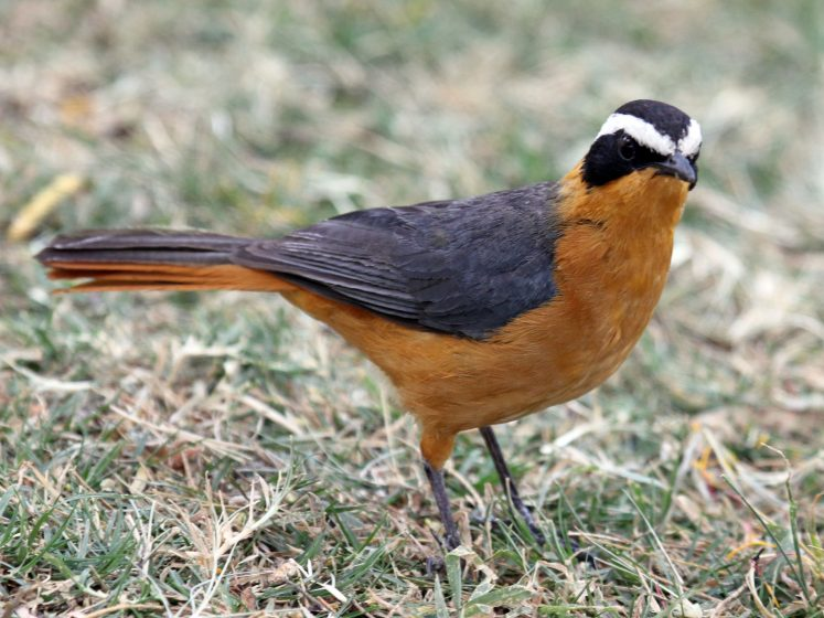 Heuglin's Robin diet consists of many different things, like beetles, ants, termites, and some other insects, arthropods, frogs, and variable fruits. The robin likes to bathes in water.
