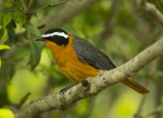 Heuglin's Robin is the most wide-ranging Cossypha robin in the Afro tropical region but has only a limited distribution in the more tropical parts of southern Africa.