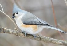 The tufted titmouse length is 14-16 cm, with the 20 – 26 wingspans in length, with a white front, and grey upper body outlined with rust-colored flanks.