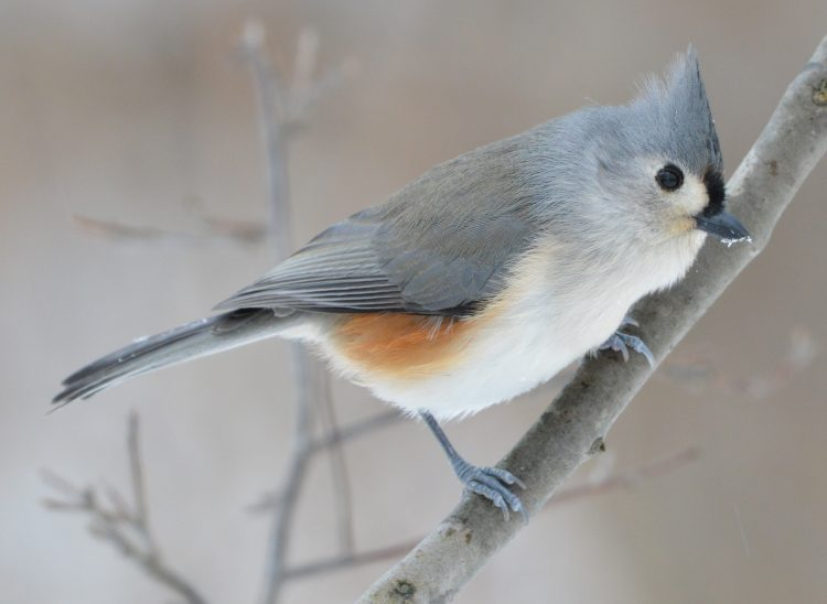 The tufted titmouse is a small songbird in the tit and chickadee family (Paridae). It usually found in central and southern Texas.