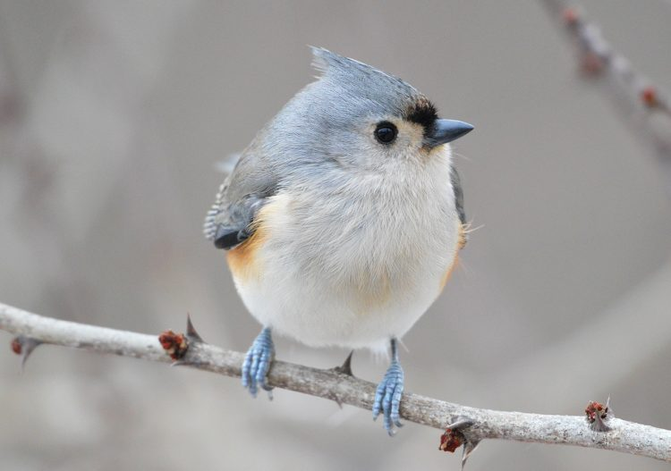 Generally, tufted titmouse lifespan is 2 years, hence few records are found live for more than 10 years.
