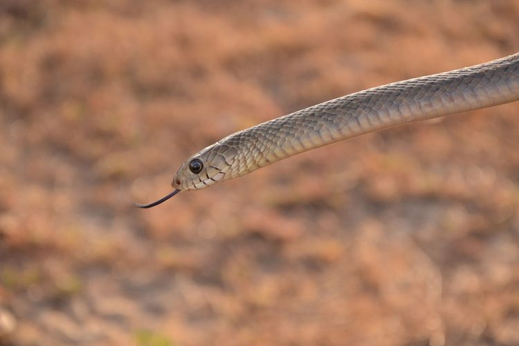 The Oriental Rat Snake (Ptyas mucosa) is a medium-sized, active, diurnal snake associated with open habitats including agricultural systems