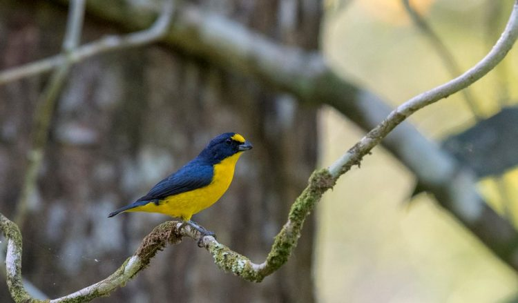 From the other black and yellow euphonias that inhabit northern Central America