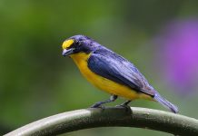 The Yellow-throated euphonia ranges from southern Mexico to western Panama, through the lowlands of both coasts and into the highlands to an altitude of possibly 4000 feet above sea level.