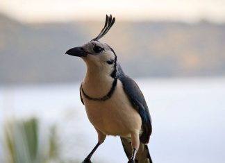 One of the largest and most conspicuous songbirds in Guanacaste is the White-throated Magpie-Jay (Calocitta formosa).