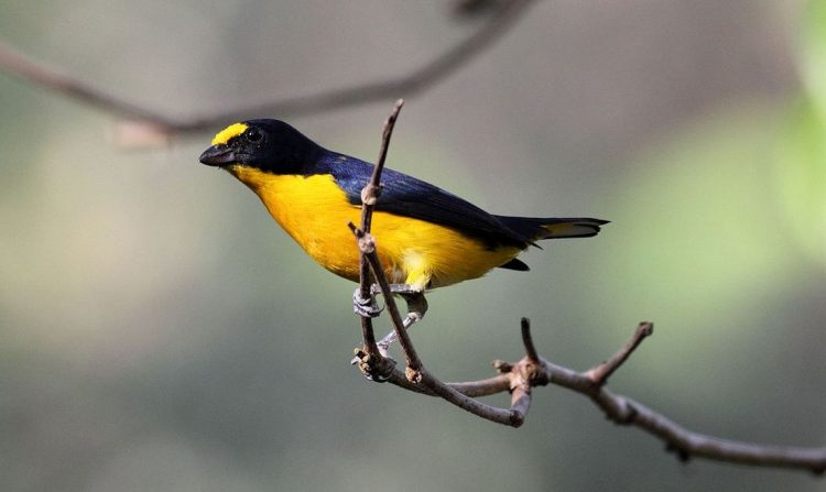 The male is a brilliant little bird, black glossed with violet and blue over all the upper plumage except the forehead and forepart of the crown, which bright yellow like the entire underparts are.