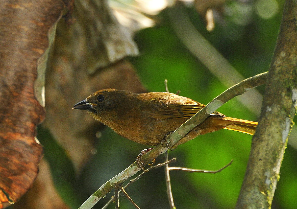 """Female Red ant Tanager """"Habia rubica"""""""