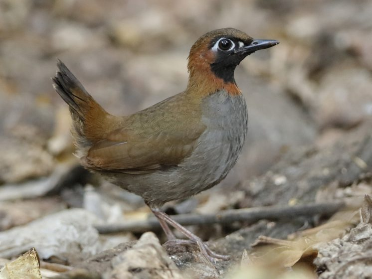 """It is considered that Black-faced Antthrush """"Formicarius analis"""" a single species whose range extends from south-eastern Mexico to South America."""