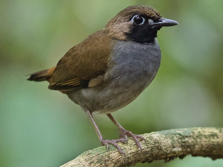 All black-faced antthrushes have a black face and throat which offset a naked, pale bluish orbital ring.