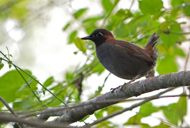 The song differences between moniligerand other black-faced antthrushes are comparable to accepted species-level differences in the genus Formicarius although the Black-faced Antthrush complex constitutes a single superspecies.
