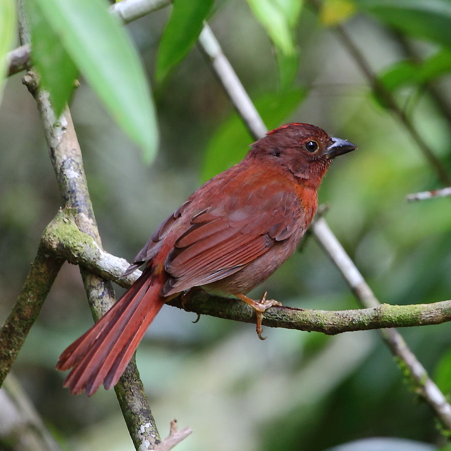 """Red ant Tanager """"Habia rubica"""""""