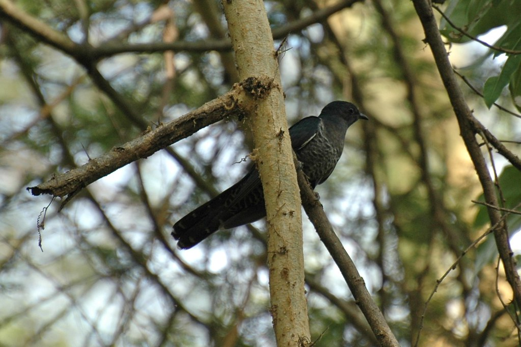 The Black Cuckoo (Cuculus clamosus) is an Afrotropical species.