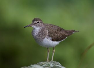 Common sandpiper upperparts brown olive, white under-parts, with streaked breast; wings with a white band; dark bill and greenish legs.