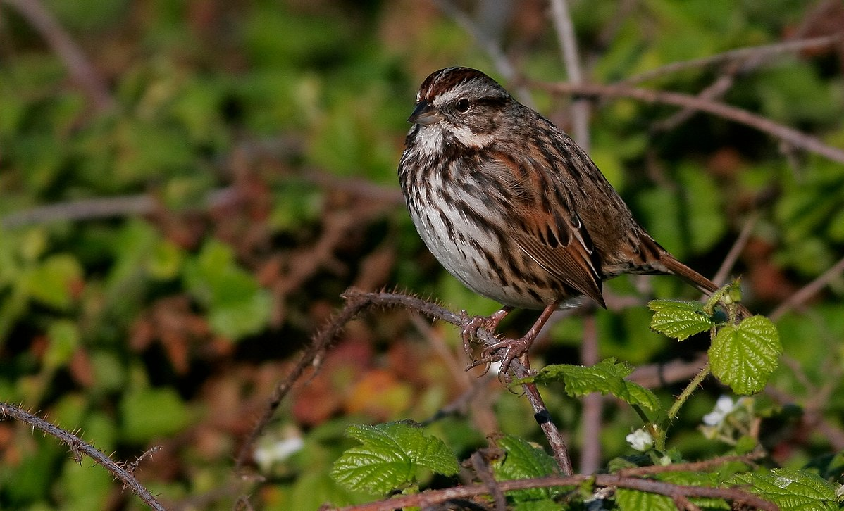 Song Sparrow Call consists of a combination of repeated notes, rapidly passing isolated notes, and trills very crisp, clear, and precise.