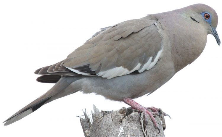 White-winged dove length is about 25–31 cm. It is also known as Mesquite Dove.A medium-sized, heavy-bodied, broad-winged dove.
