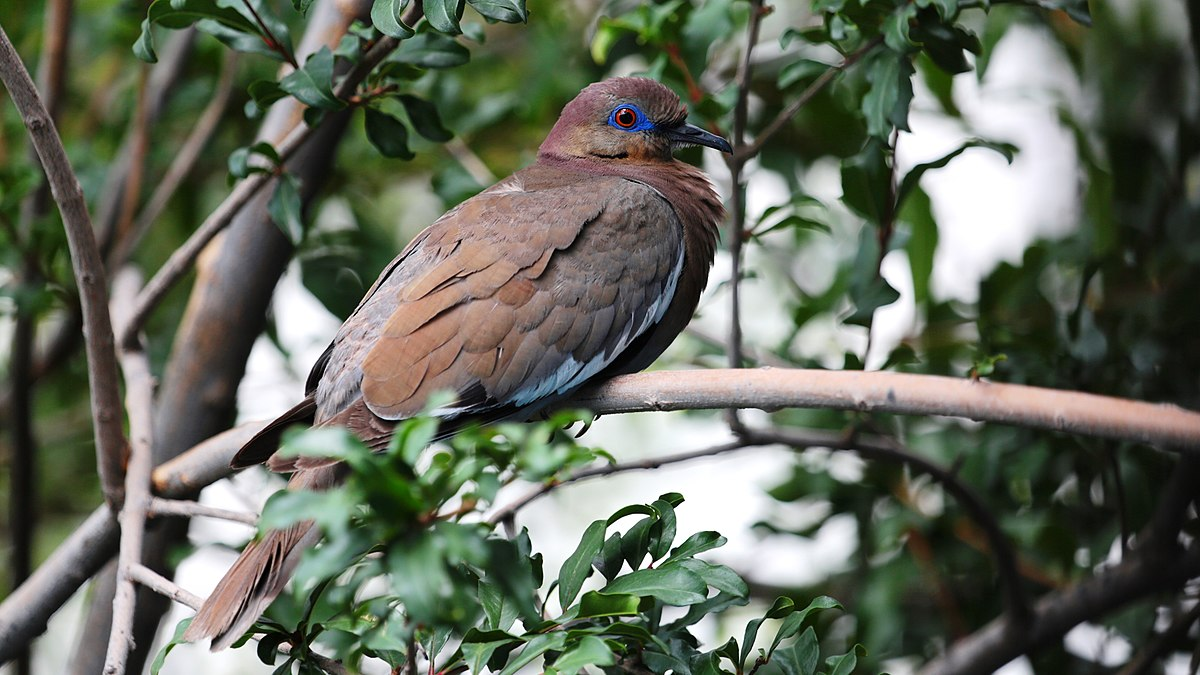 White-winged dove is usually, olive-brown above and fawn-pink below, with a black bill and red tarsi and feet.