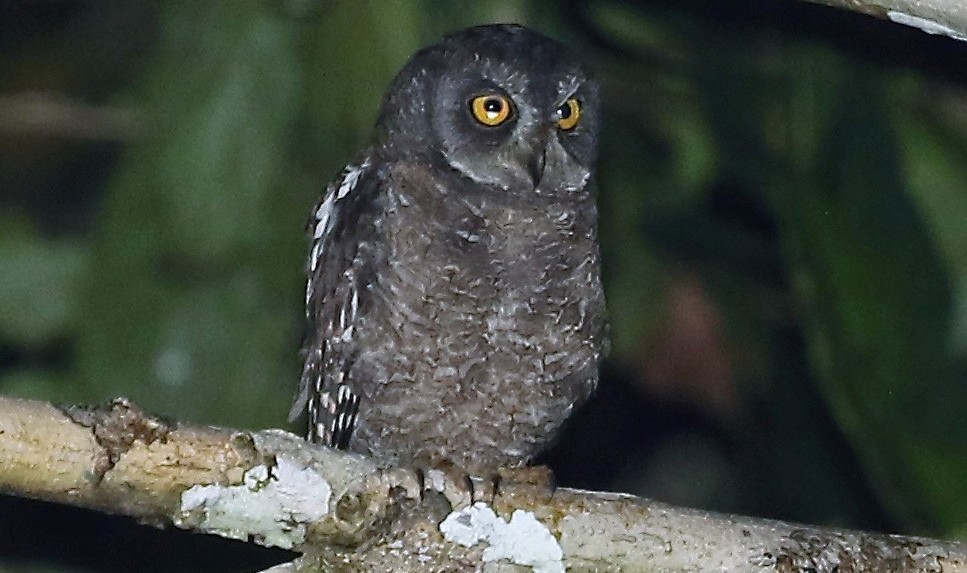 Biak Scops Owl medium-sized owl with prominent ear-tufts, lacking any trace of dark shaft-streaks but with a few fine streaks on forecrown.
