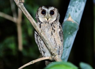 Collared Scops Owl is a medium-sized sandy-brown owl, spotted and mottled dark brown and black with relatively pointed wings and rather long.
