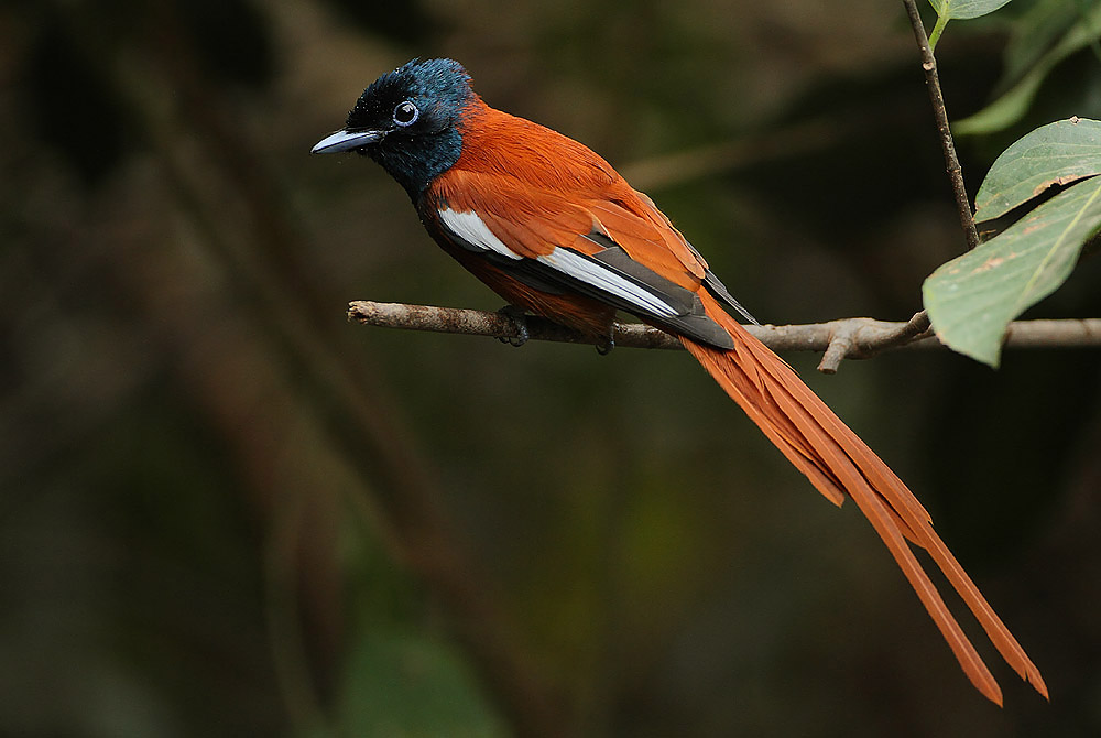 """The Bluemantled Flycatcher """"Trochocercus cyanomelas"""" is closest to the Paradise Flycatcher, both taxonomically and ecologically."""