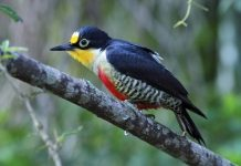 YELLOW-FRONTED WOODPECKER12