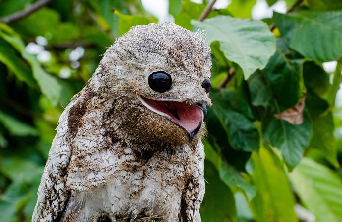 The great potoo (Nyctibius grandis) are shy and solitary creatures, and perches upright during day time on a tree stump.