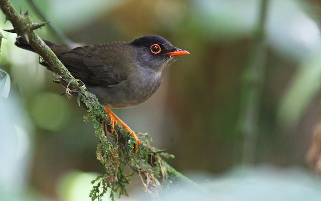 The black-headed nightingale-thrush belongs to the family Turdidae and breeds in the cloud forest and subtropical humid montane forest.