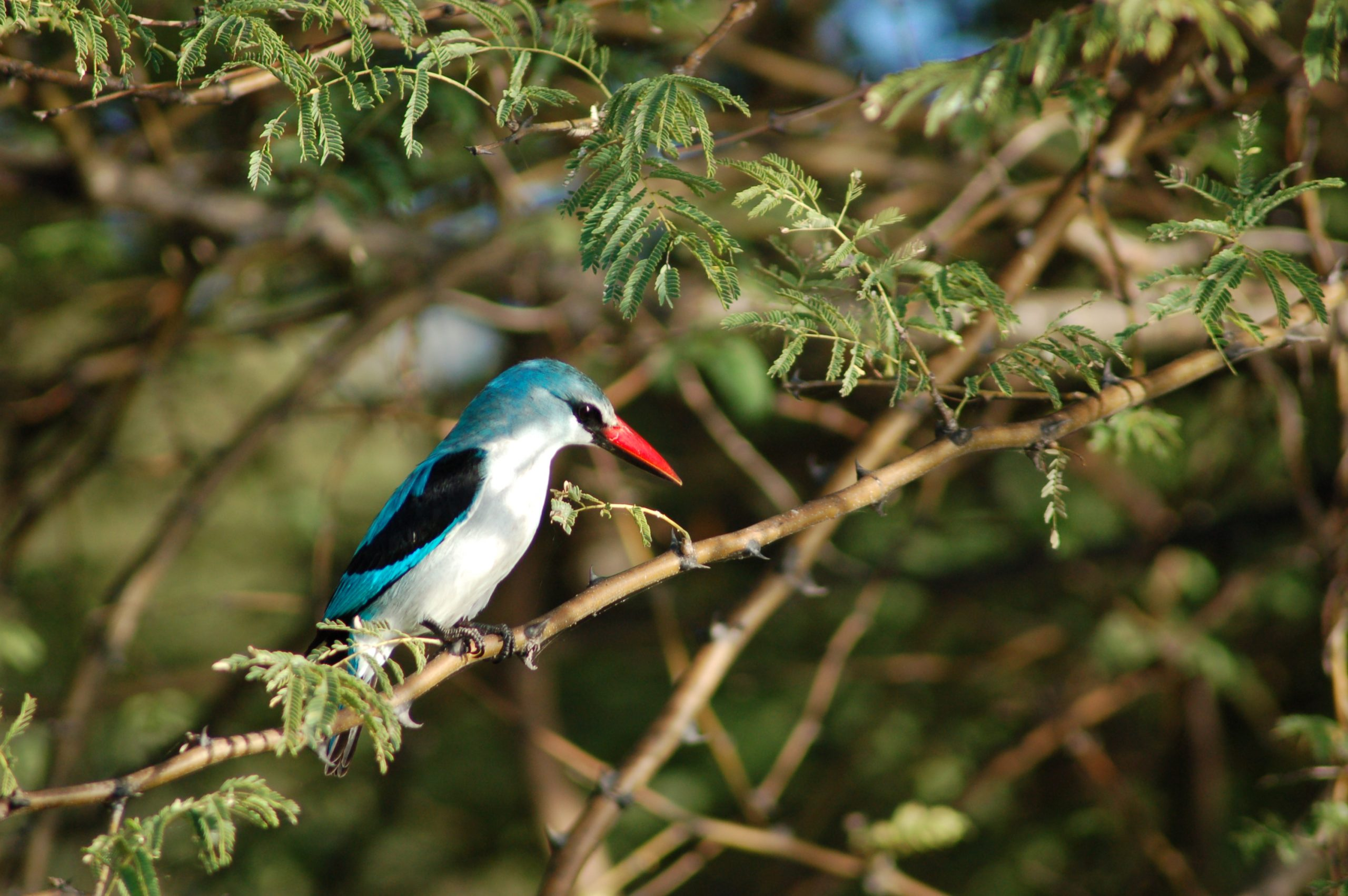 The Woodland Kingfisher is not considered threatened at present, but is subject to some loss of numbers through accidents in built-up areas while on migration.