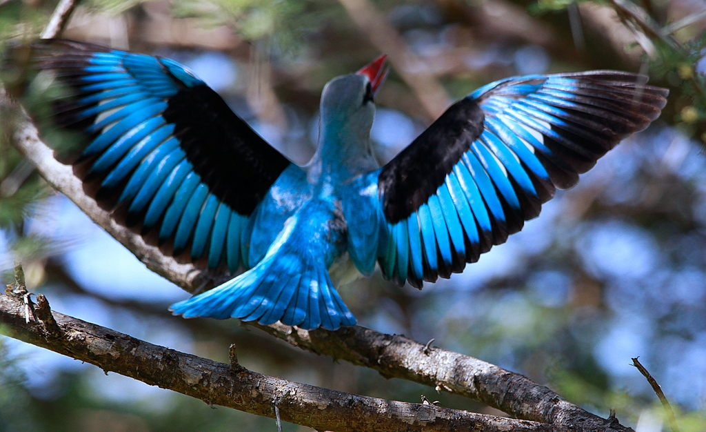 It has a wonderfully remarkable display in which the wings are spread to show the white linings and with a distinctive bicolored bill.