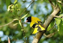 The Black-headed Oriole (Oriolus larvatus) occurs widely in woodlands from East Africa southwards.