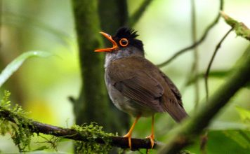 The TX Black-headed Nightingale-Thrush sang during May-early August, and again in late October, before vanishing.