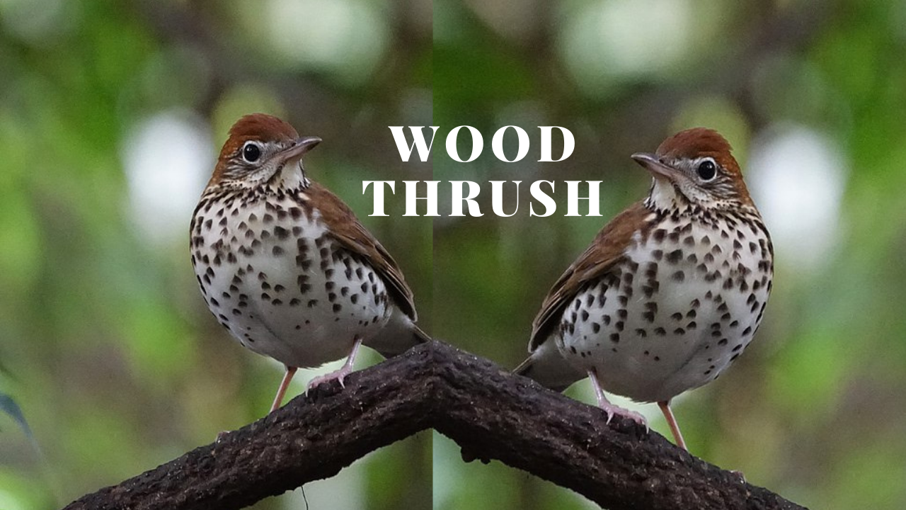 Wood thrush song has been observed to have one of the most hearts touching song in North American birds.