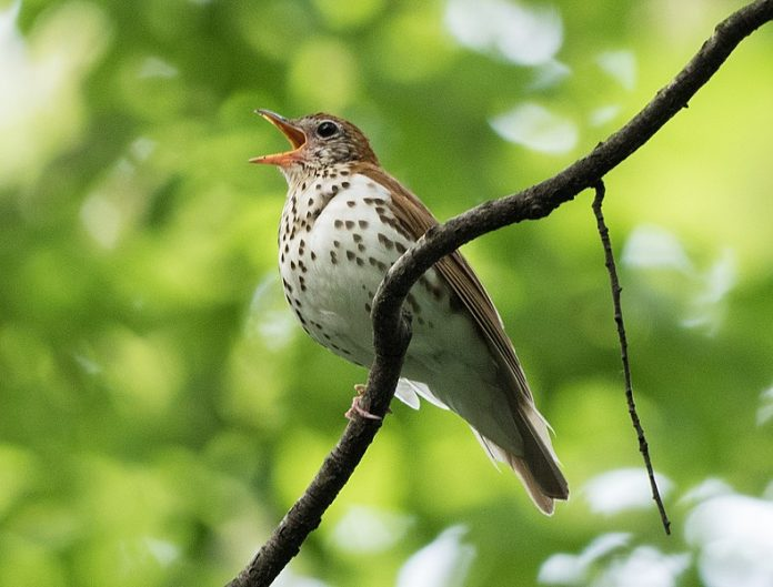 The sound of wood thrush male is to sing two notes at once, which gives its call an ethereal, flute-like quality.