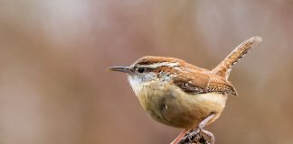Carolina Wren's sedentary nature and territorial defense habits, the wren have a large repertoire of sounds, including loud repeated churrs, chatters, rattles, rasping, and a rising and falling cheer.