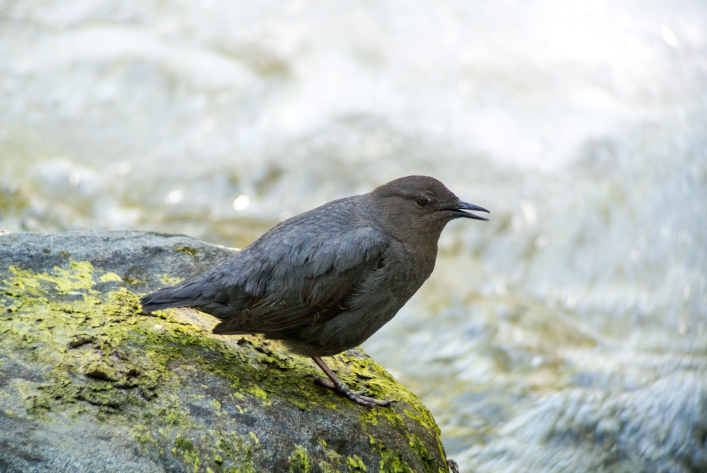 The American dipper (Cinclus mexicanus), also known as a water ouzel, is a fascinating dark gray bird found in fast-flowing, boulder-strewn streams in Costa Rica's mountains and foothills.