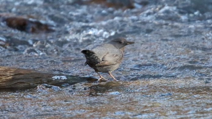 This bird typically flies downstream and then hop, climb, and fly upstream from boulder to boulder though occasionally submerging to capture larvae of mayflies, mosquitoes, midges, craneflies, dragonflies, beetles, and sometimes small fish.