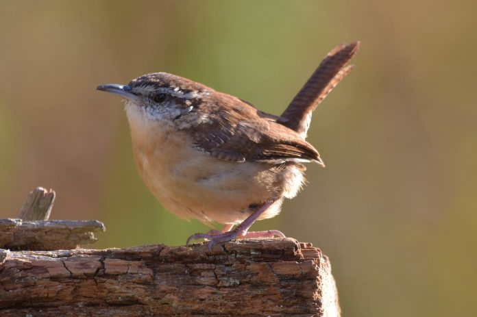Carolina wren call often hear in a 15 times before changing his tone. It is singing from dense vegetation in wooded areas, and forest ravines