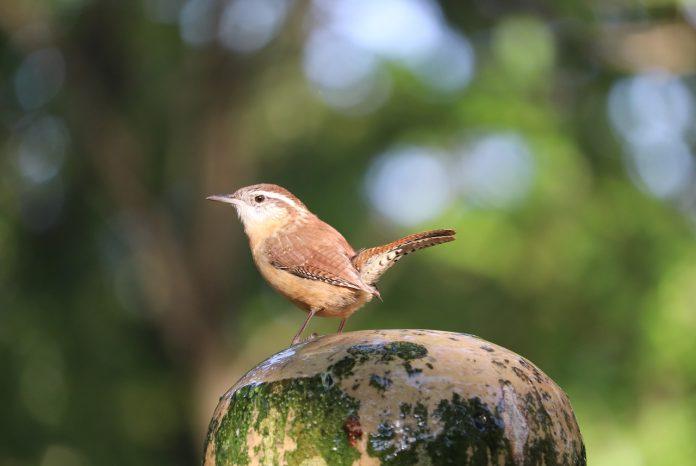 "Carolina Wren is a spirit bird in human life and ""Symbolic of Boldness""."