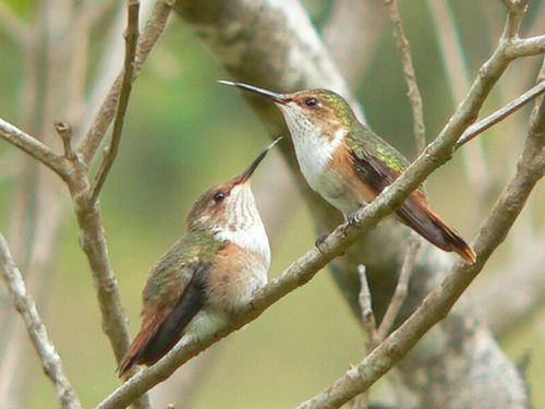 Glow-throated hummingbirds facts