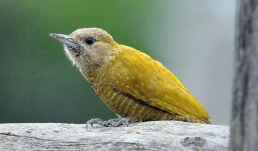 Little Woodpecker is Olive-green above with bronze tones and faint buff flecks. It is found Widespread and not uncommon overall.