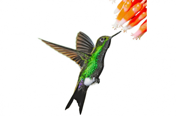 The Glowing Puffleg (Eriocnemis vestita) is fairly a small hummingbird species in the family Trochilidae, has a short but deeply forked tail.