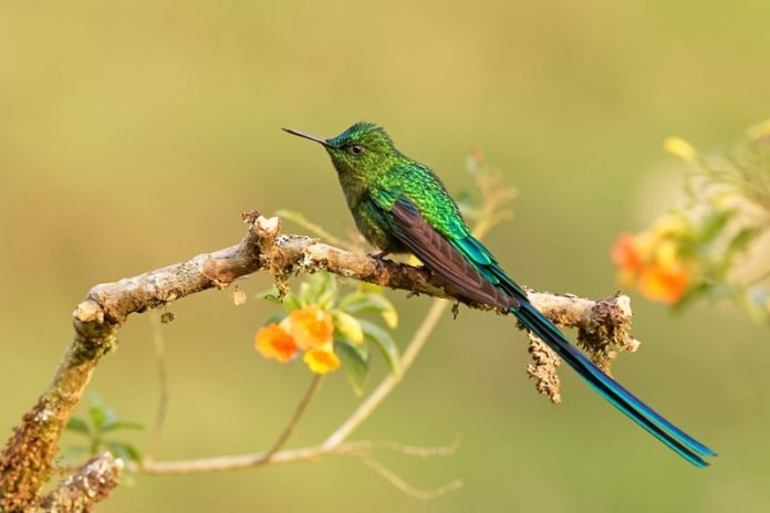 The long-tailed sylph (Aglaiocercus kingii) is an imposing creation of God. It is a most widespread member of the genus Aglaiocercus. A lovely long tail adding beauty to a species of hummingbird in the family Trochilidae.