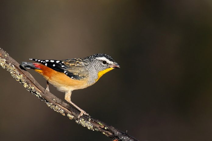 Out of breeding, Spotted Pardalotes gather in loose feeding flocks of 10 to 20, or even 100 or so individuals, to forage nomadically.