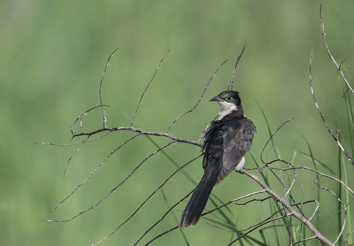 Jacobin Cuckoo habitat mainly in open woodland, dry scrub, and thorny area. It is observed that this bird avoiding areas of dense forest or harsh dry environments.