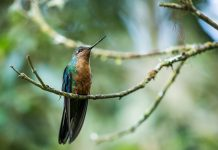 The great sapphirewing (Pterophanes cyanopterus) is a species of a large, broad-tailed hummingbird in the family Trochilidae.