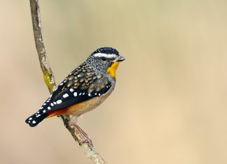 The Spotted pardalote is the tiniest of the pardalotes and frequents denser, wetter eucalypt forests around temperate southern Australia